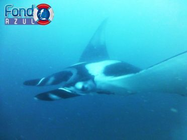 scuba dive with manta rays