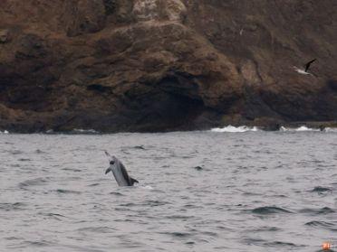 Delfines en la isla de Salango