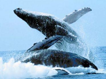 ahorcados   ballenas